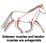extensor_muscles